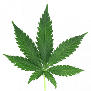Fresh Monster Cannabis from Spain!